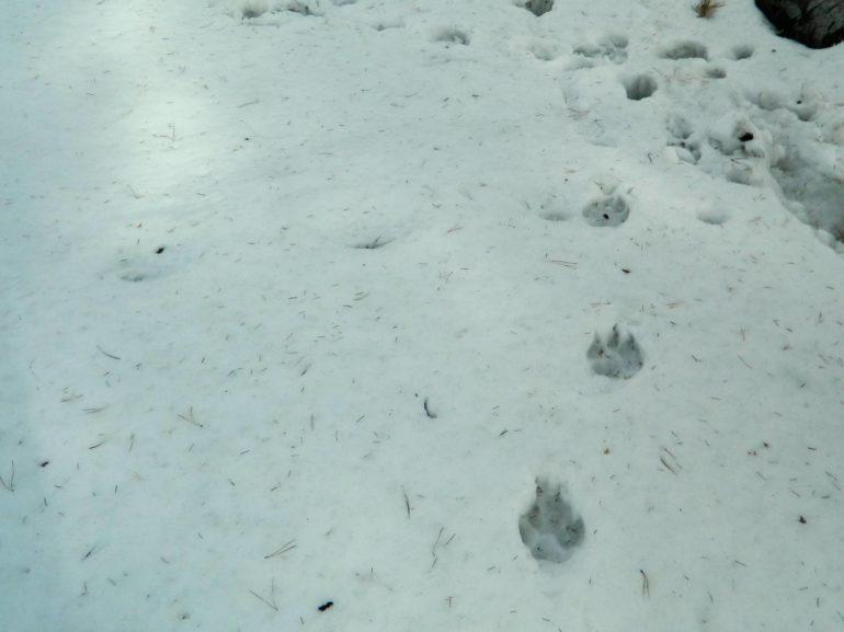 В м. АЧИМ г. Емва - настоящая беда из-за волков.